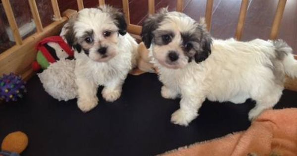 Sweet Teddy Bear Puppies Shih Tzu Bichon 8 Weeks Old Teddy Bear Puppies Puppies Furry Friend