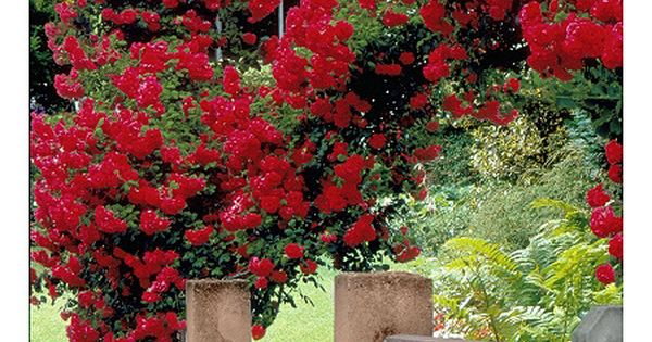 Cottage Farms 2 Piece Climbing Blaze Rose Qvc Com With Images Climbing Rose Plants Red Climbing Roses Climbing Roses