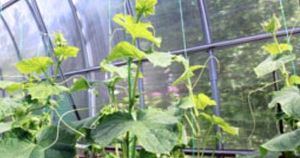 Eierschalen Als Dunger Verwenden Gewachshaus Pflanzen Gurken Im Gewachshaus Garten Gewachshaus