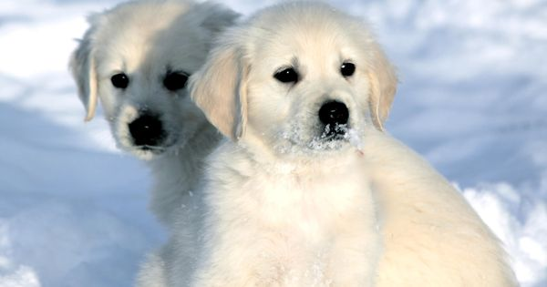 Beautiful English Cream Golden Retriever Puppies Available