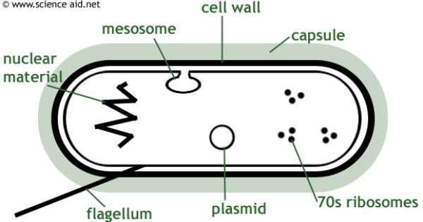 Bacteria Structure Growth Culturing And Counting Cell Wall Bacteria Capsule