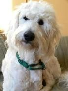Poo Mix Rescue State By State Listing For Dog Adoptions Poodle