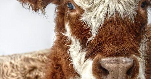 Beautiful Cow. Sweet Cow Animal Farm