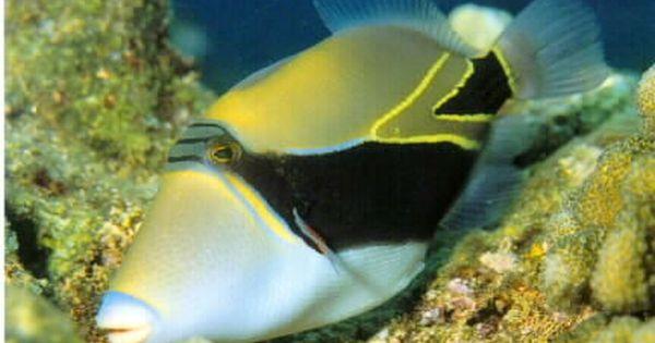 Reef Triggerfish Dream Vacations Hawaii Hawaii Island
