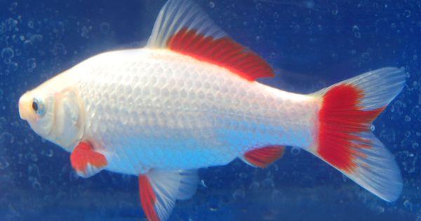 Goldfish sarrasa comet goldfish for the pond for Comet pond fish
