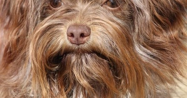 Close Up Head Shot A Wavy Coated Long Haired Brown Russian Tsvetnaya Bolonka Dog Is Standing Outside And It Has A Brown Ribbon In Th Dog Breeds Dogs Breeds