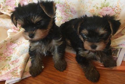 Yorkshire Terrier Pups Dogs Puppies Gumtree Australia Gympie