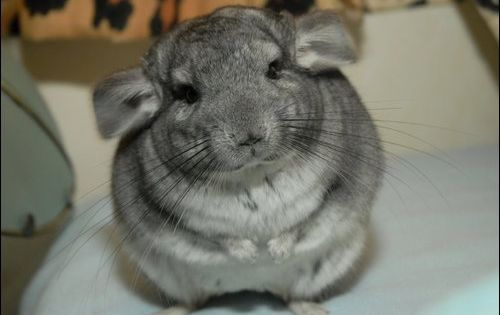 cute chinchilla tumblr Adorable Pinterest