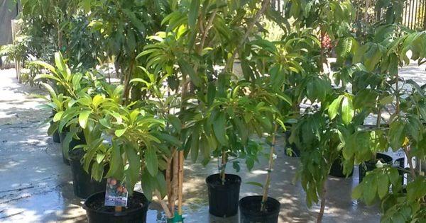 how to grow soursop indoors