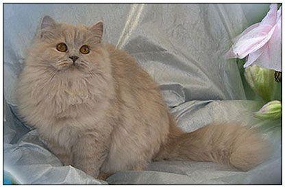 Cinnamon British Longhair Adorable Cute Cats Cute Animals Beautiful Cats
