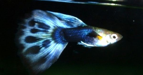 For info on fish care and breeding check out my blog for Guppy fish care