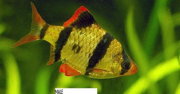 Aquarium Fishes Difference Between Male And Female Tiger Barb Fish Tropical Fish Aquarium Tropical Fish Tropical Freshwater Fish