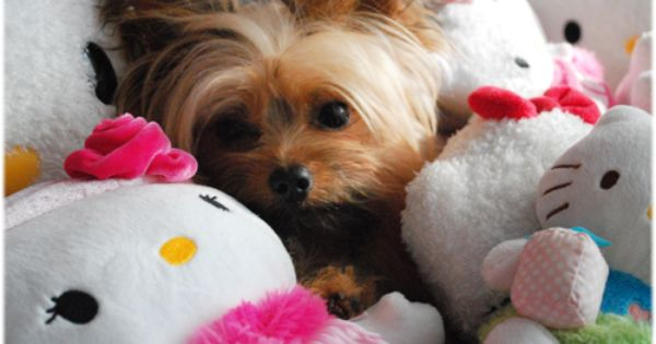 Pin By Alaska Diashia On Adorable Animals Yorkshire Terrier