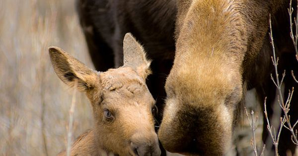 Moose and Newborn Calf 5x7 by JoshColeImaging on Etsy, $17.00