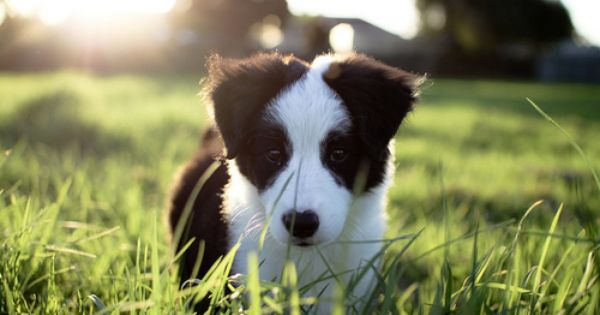 Tumblr Border Collie Puppies Collie Puppies Working Dogs Breeds