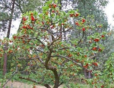 Dwarf North Star Cherry Fruit Trees Buy Fruit Trees Dwarf Cherry Tree