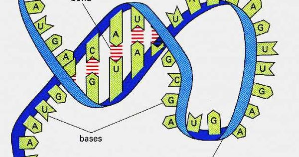 rna definition rna is the acronym for ribonucleic acid forms of rna include messenger rna. Black Bedroom Furniture Sets. Home Design Ideas
