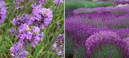 Lavender Augustifolia English Lavender Bee Friendly And Birds