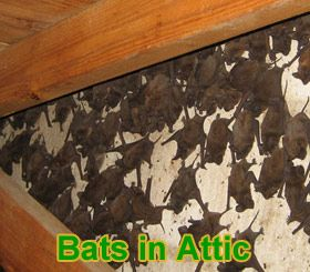 Bats In The Attic How Do You Get Bats Out Of The Attic Bats In Attic Bat Attic