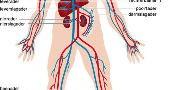 bloedsomloop lichaam - Google zoeken - het geraamte ...