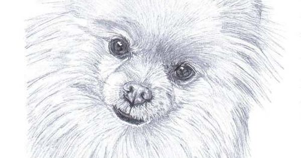 Pomeranian Pencil Sketches Details About Pomeranian Dog