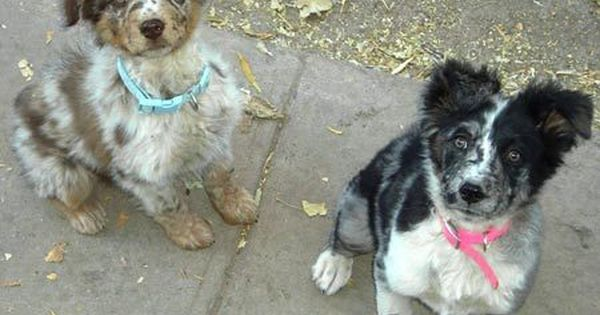 Spicey The Aussie Shepherd Blue Heeler Cute Baby Animals Australian Shepherd Blue Heeler Cute Animals