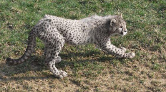 Leucistic Cheetah Melanistic Animals Albino Animals Rare Albino Animals
