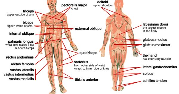 diagram of human muscles system muscle diagram human body, Muscles