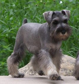 The Best Selection Of Miniature Schnauzers In Michigan Akc Registered And Licensed Breeder Click Here Schnauzer Grooming Schnauzer Puppy Miniature Schnauzer
