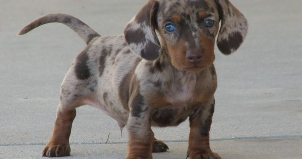 Weiner dog puppy. Neat eyes.