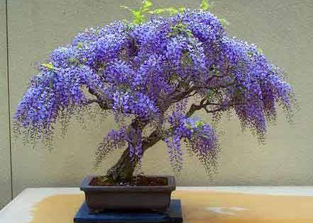 wisteria bonsai tree - Bing Images