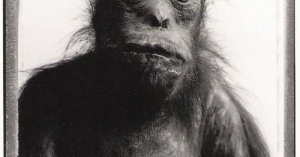 bettina rheims orang outang paris 1985 animal farm pinterest photography and portraits. Black Bedroom Furniture Sets. Home Design Ideas