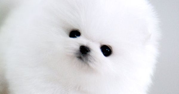 this real live teacup pomeranian looks just like a baby ...