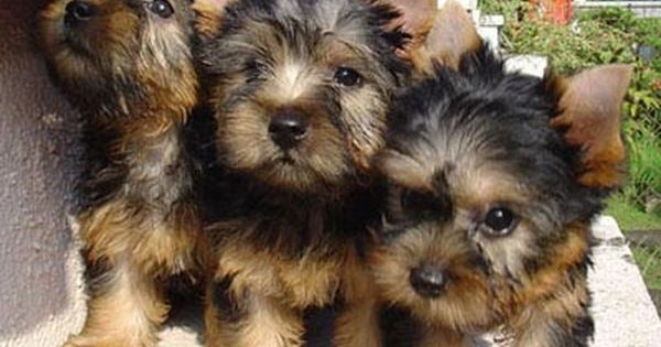 Silky Terrier Puppy Picture Silky Terrier Terrier Puppy Australian Silky Terrier