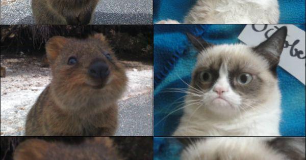 Grumpy Cat vs Quokka   Humor.   Pinterest   Quokka, Grumpy ...