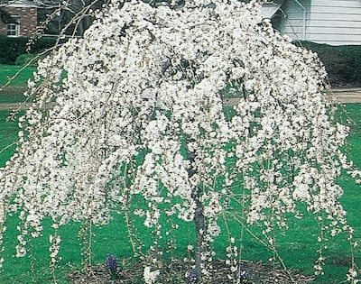 3 64 Gallon White Weeping Snow Fountain Cherry Feature Tree In Pot With Soil L7207 Lowes Com Potted Trees Backyard Landscaping Weeping Cherry Tree