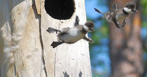 Leap of Faith: And these baby geese leaving the nest for the