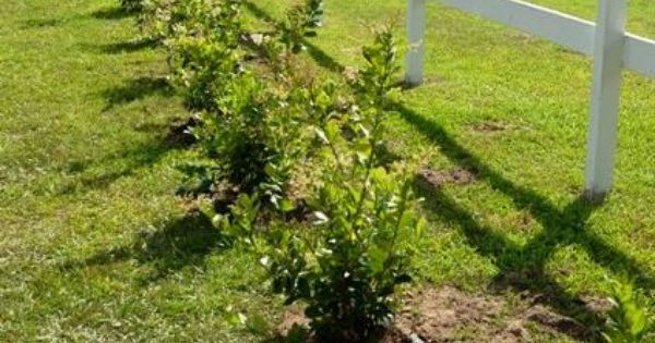 Planting A Privet Hedge Privacy Landscaping Backyard Fences Natural Fence