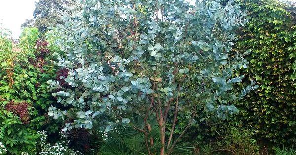 eucalyptus gunnii 39 baby blue 39 gommier cidre bleu plantes pinterest jardins plantes et. Black Bedroom Furniture Sets. Home Design Ideas