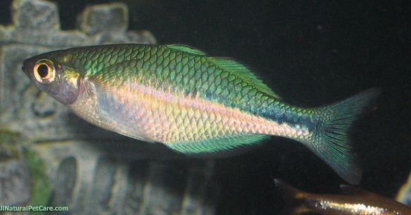 Young adult turquoise rainbow fish melanotaenia lacustris for Turquoise rainbow fish