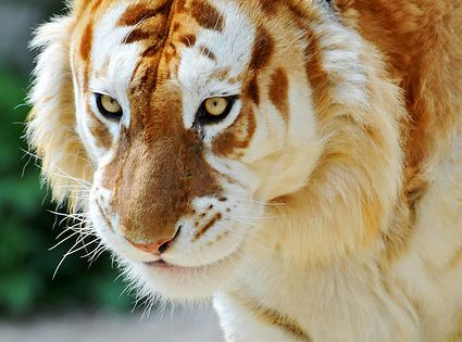 Rare Golden Tiger...Its a Ginger Tiger - A golden tiger, golden tabby