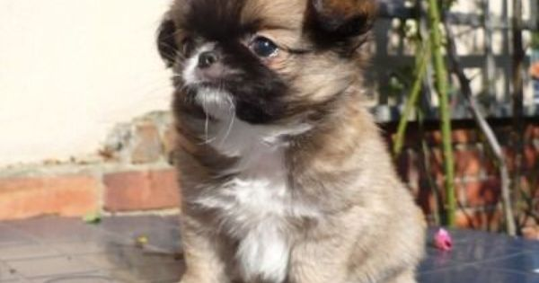 Chin Wa Is A Mix Between The Purebred Chihuahua And Japanese Chin