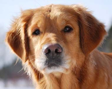 Wow Love This Handsome Guy Golden Retriever Retriever Dogs