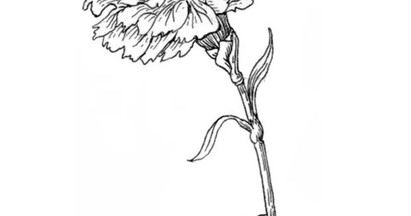 dianthus caryophyllus coloring pages - photo#12