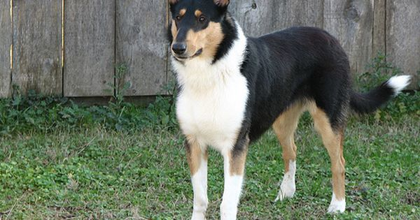 Smooth Collie Dog Photo There Are Three Types Of Collies