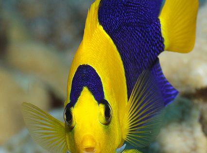 Underwater beauty by tom judkowiak sea life for Yellow fish tank water