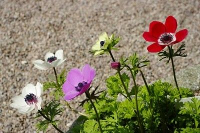 Varieties Of Anemone Different Types Of Anemone Flowers Anemone Flower Anemone Plants