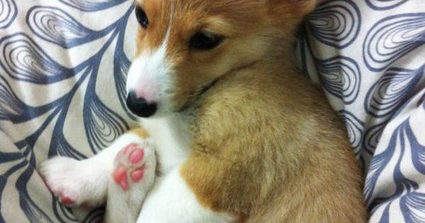Baby corgi! We had a welsh corgi when i was little, they