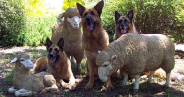 We Forget They Are Shepherds And Not All K9s Germanshepherd