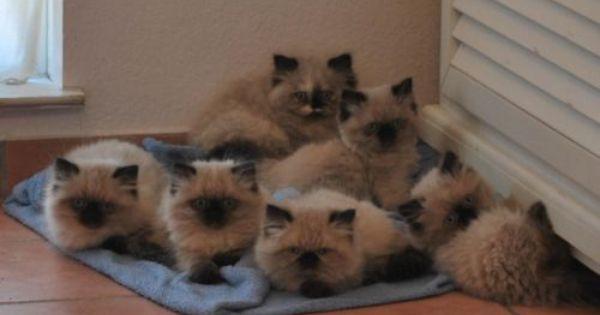 Classifieds Desert Lynx Kitten Page 1 Lynx Kitten Persian Kittens For Sale Persian Kittens